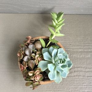 """Succulents plants in a small pot 2""""H. for Sale in Everett, WA"""
