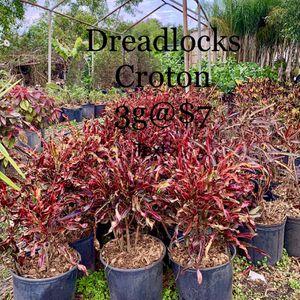 DREADLOCKS CROTON for Sale in Stuart, FL