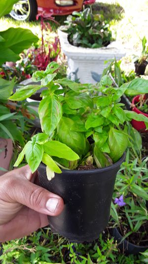 Sweet basil plants for Sale in Tampa, FL