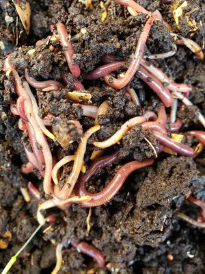 Red worms wigglers for composting or feed for Sale in Costa Mesa, CA