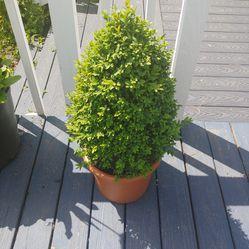 Topiary dwarf boxwood shrub in planter pot for Sale in Woodinville,  WA