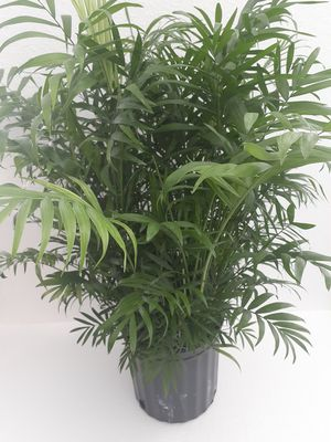 Parlor Palm for Sale in Orlando, FL
