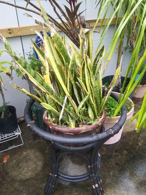 Plant for Sale in Greenacres, FL