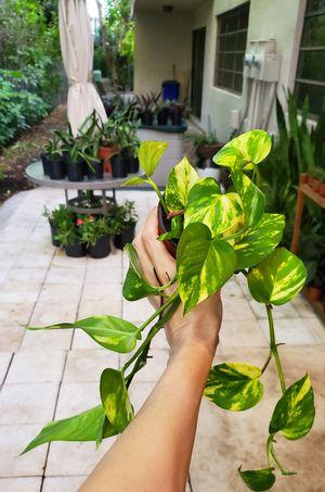 Golden pothos plants. $3 each for Sale in Deerfield Beach, FL