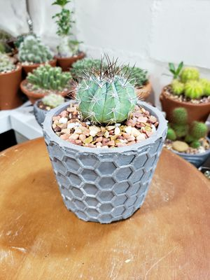 Cactus in geometric concrete planter for Sale in West Bloomfield Township, MI