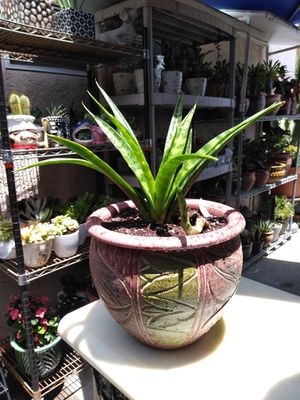 SNAKE PLANTS for Sale in Long Beach, CA