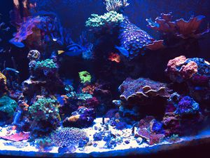 Corals frags for Sale in Port Orchard, WA