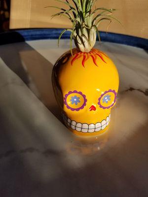 Yellow Sugar Scull+ Live Plant for Sale in Mesa, AZ