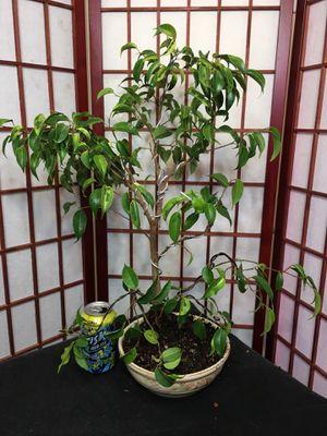 Pre-Bonsai: Ficus Benjamina for Sale in Malden, MA