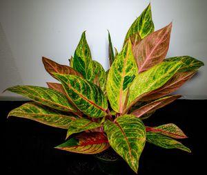 Red Aglaonema for Sale in Port Richey, FL
