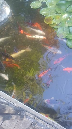 Koi fish for Sale in Chico, CA