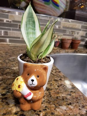 Variegated dwarf snake plant with cute pot for Sale in Orange, CA