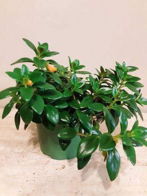 Goldfish plants 6 inches pot for Sale in Chula Vista, CA