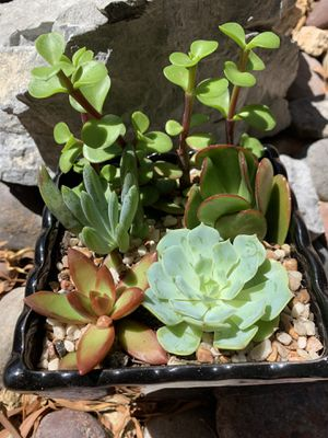 Real/live succulent plants in a pot for Sale in Las Vegas, NV