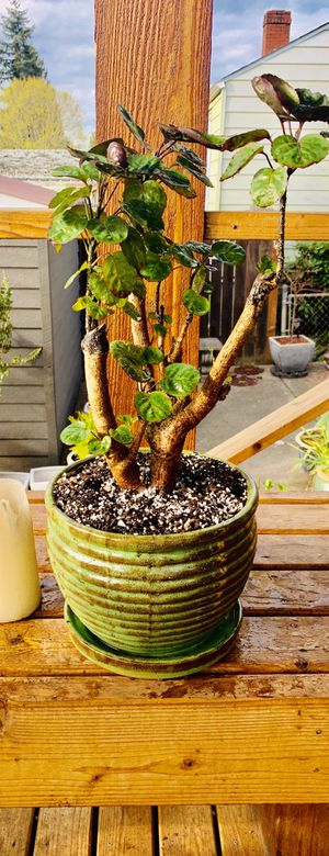 Live indoor Fabian Aralia house plant tree in a textured ceramic planter flower pot with attached base—firm price for Sale in Tukwila, WA