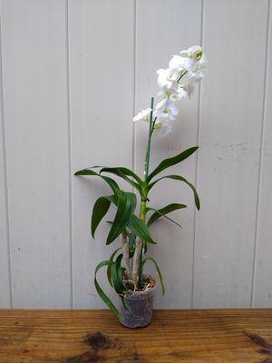 Orquídea blanca 10$ for Sale in Orlando, FL