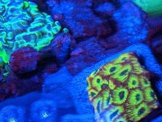 Tropical Favia Coral for Sale in Placentia,  CA