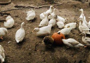 Fresh organic free-range duck eggs for Sale in Hayward, CA