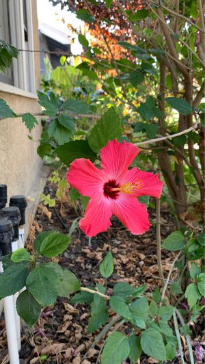 Free hibiscus and more for Sale in Ontario, CA