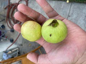 White Guavas 3 for $1 for Sale in Vernon, CA