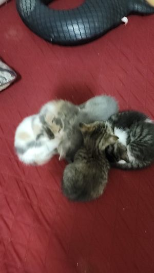 Kittens and mother for Sale in Hampton, GA