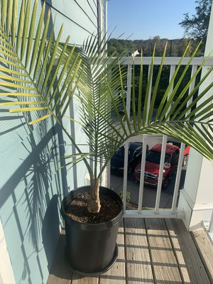 Palm Plant for Sale in Taylors, SC