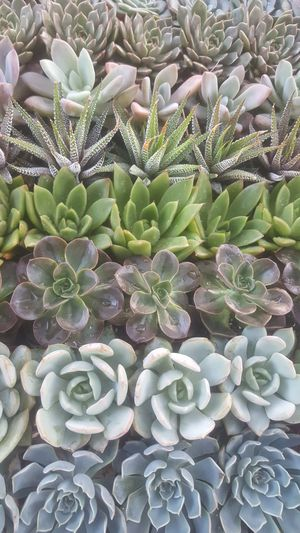SUNDAY succulent plants for sale perfect for party favors for Sale in Corona, CA