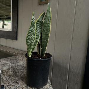 Sanseveria plant for Sale in Stockton, CA