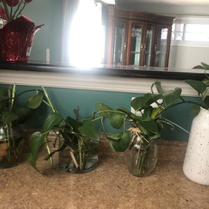 Selling These Beautifus Pothos Vines Ready To Plan. Vases Are Included Except The White One! for Sale in Washington, DC