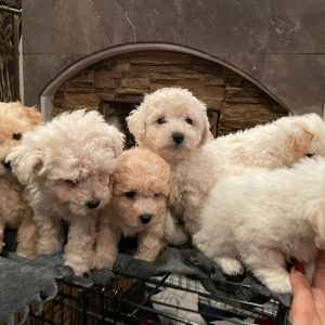 French Poodle Puppies for Sale in Tijuana, MX