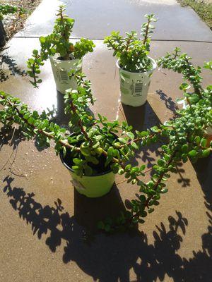 Elephant Food Plants! for Sale in Chandler, AZ