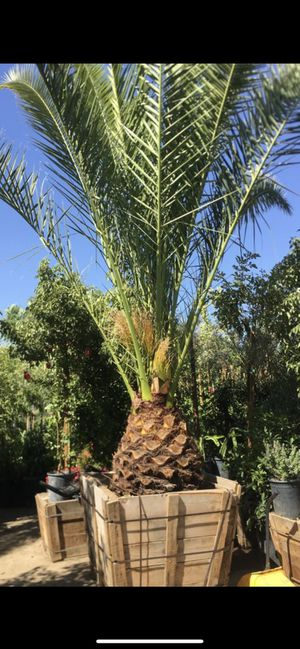 Phoenix Canariensis Date palm , Canary Date Palm tree for Sale in Highland, CA