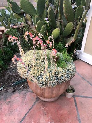 Beautiful and healthy succulents for Sale in Santa Clara, CA
