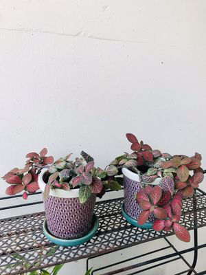 Nerve Plants in Pots for Sale in Lakewood, OH