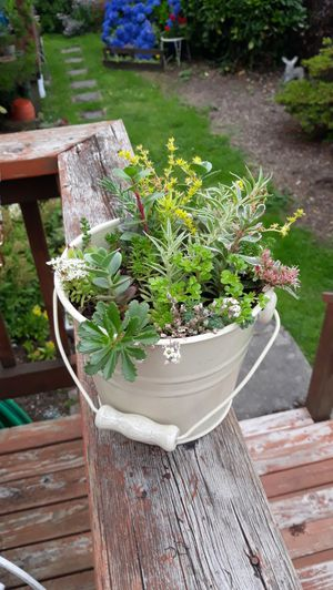 Small Shabby Chic Cream Color Bucket Full of Succulent Plants Arrangement for Sale in Sumner, WA