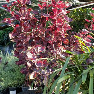Red Plant for Sale in Arcadia, CA