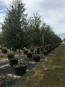 Oak trees delivered and planted 10. Foot tall for Sale in Tampa, FL
