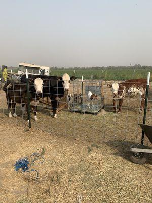 Heifers for Sale in Winton, CA