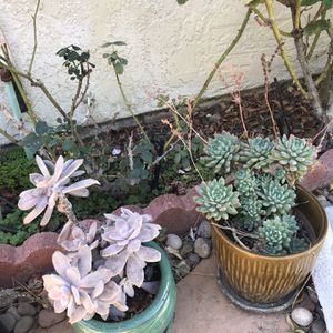 succulent for Sale in City of Industry, CA