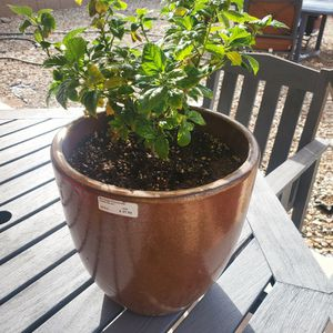Hibiscus Plant And Pot for Sale in Tolleson, AZ