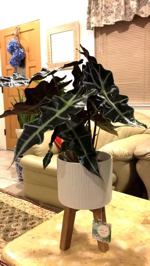 Alocasia Plant - Indoor Plant - $16 each - Plant Only - PLANTER NOT INCLUDED for Sale in Garden Grove, CA