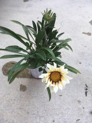 Gazania/Ground cover plant for Sale in Fresno, CA