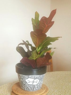 "Croton in Hand Painted 6"" Azalea Pot for Sale in Berkeley, CA"