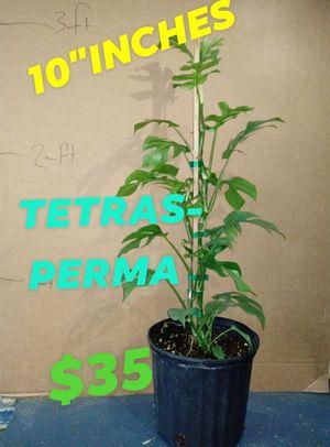 Tetrasperma for Sale in Woodburn, OR