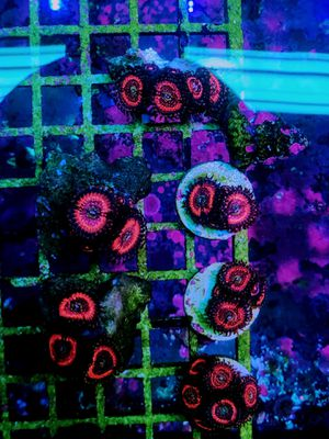 Pink Zipper Zoanthid Coral Frags for Sale in Hialeah, FL