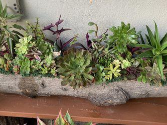 Succulent En Tronko Xxgrande for Sale in Downey,  CA