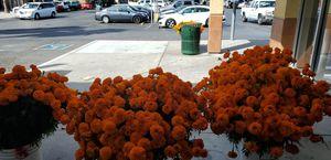Flor de muerto cenpasuchil for Sale in San Jose, CA