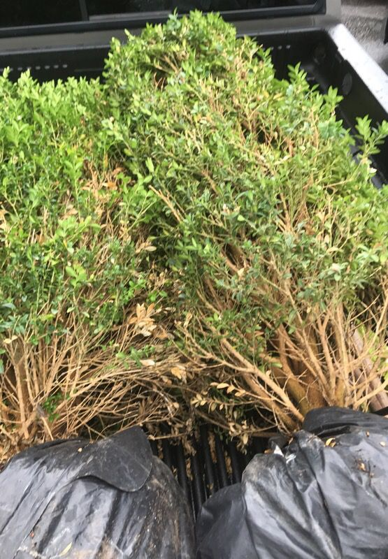 About 5ft tall boxwood plants