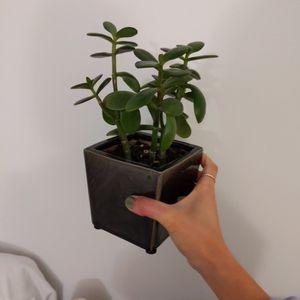 "Healthy Jade Plant + 4"" Ceramic Pot for Sale in Arlington, VA"