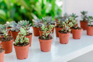 Succulents suculentas. Minimum order of 90 ct for Sale in Miami, FL